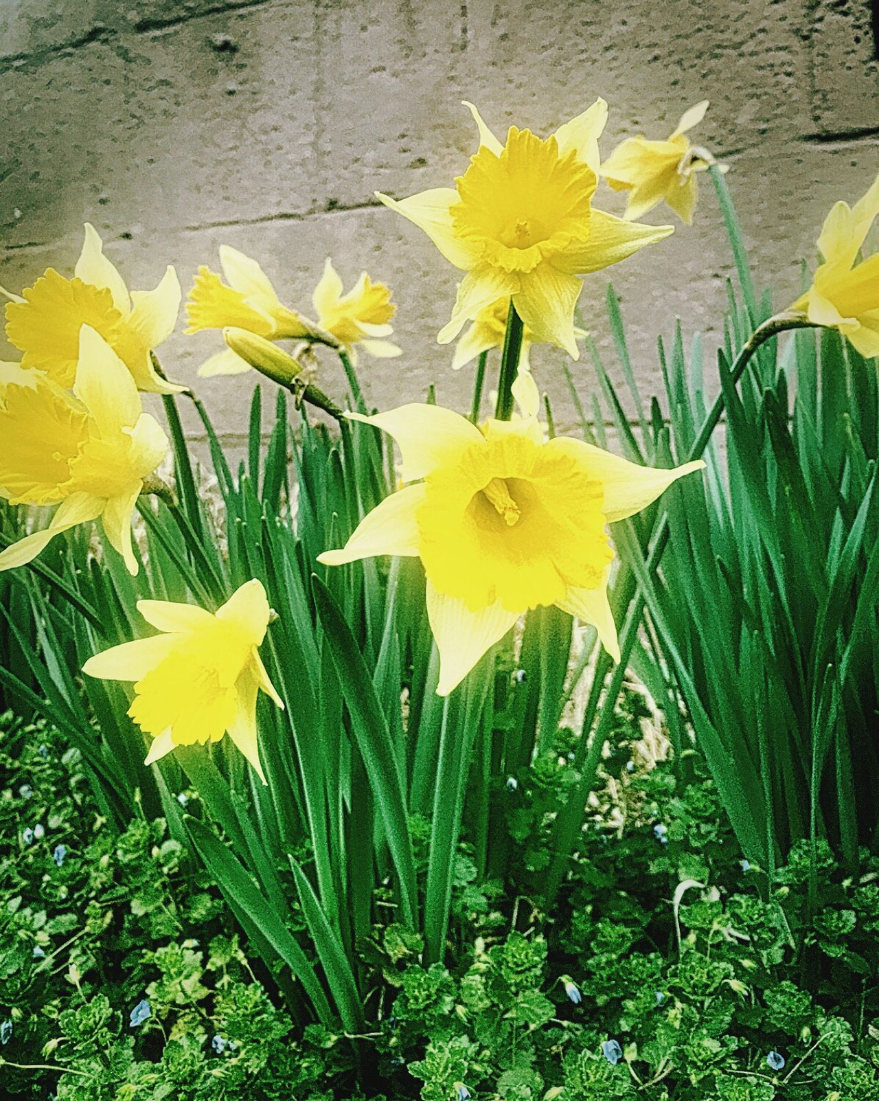 Yellow Flower Daffodil Fragility Freshness Petal Flower Head Nature Close-up Leaf Beauty In Nature Plant Growth No People Green Color Outdoors Day Yellow Color