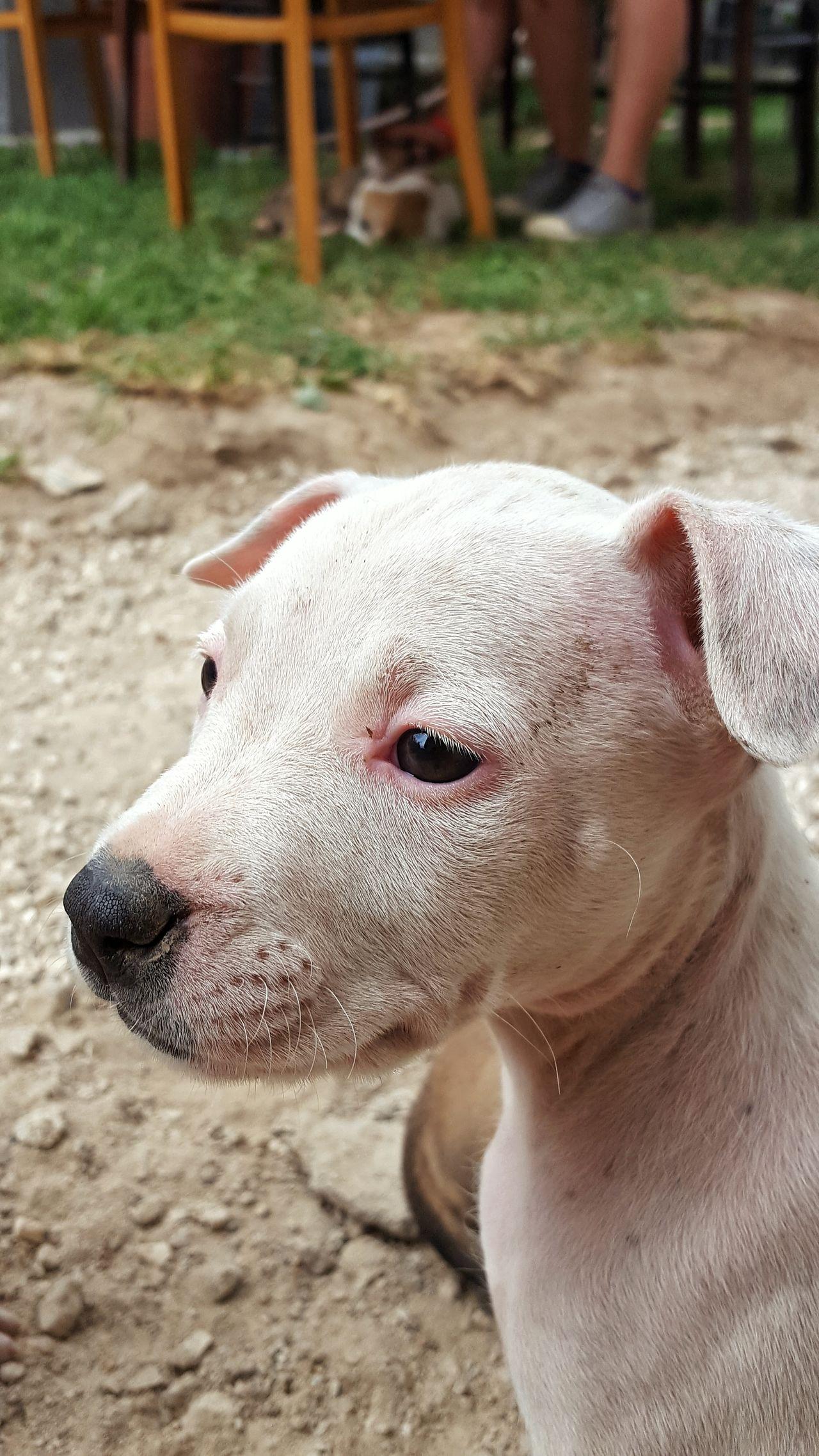 Outdorphotography Delicious Love Pitbull♥ Pitbulllover Guard Pitbull Dog Poser ❤ Puppye