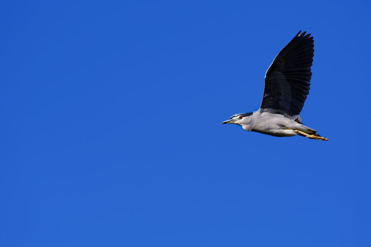 Adult Black-crowned Night Heron in Gilbert Arizona. Heron Heron Bird Heron In Flight Bird Flying Wild Animal Wildlife Sky Blue Sky Gilbert, Arizona Arizona Animal Animals In The Wild Outdoors One Animal Bird In Flight Flying Bird
