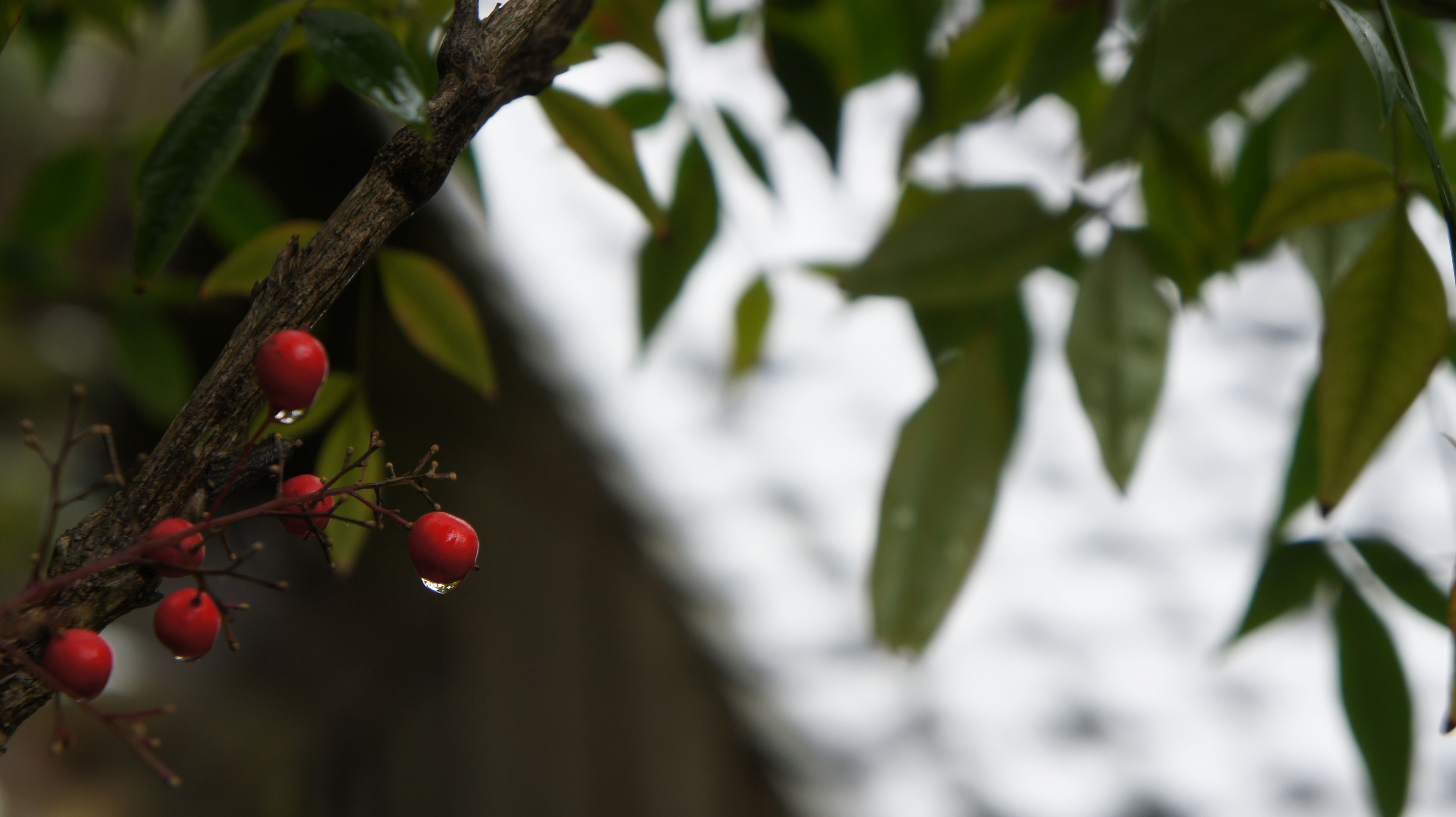 fruit, growth, red, nature, close-up, leaf, food and drink, tree, outdoors, no people, branch, freshness, plant, beauty in nature, day, green color, healthy eating, rose hip, food