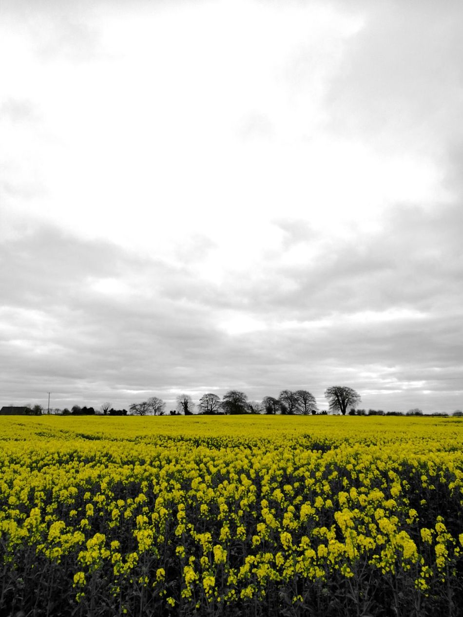 Landscape Photography Colour Drop Yellow Flowers In Bloom! Growth Spring Flowers Spring Time Fresh Grey And Yellow Black And White Photography Highlights Field Yellow Beauty In Nature Nature Flower Blossom EyeEmNewHere Irish Countryside EyeEmBestPics Splash Of Colour