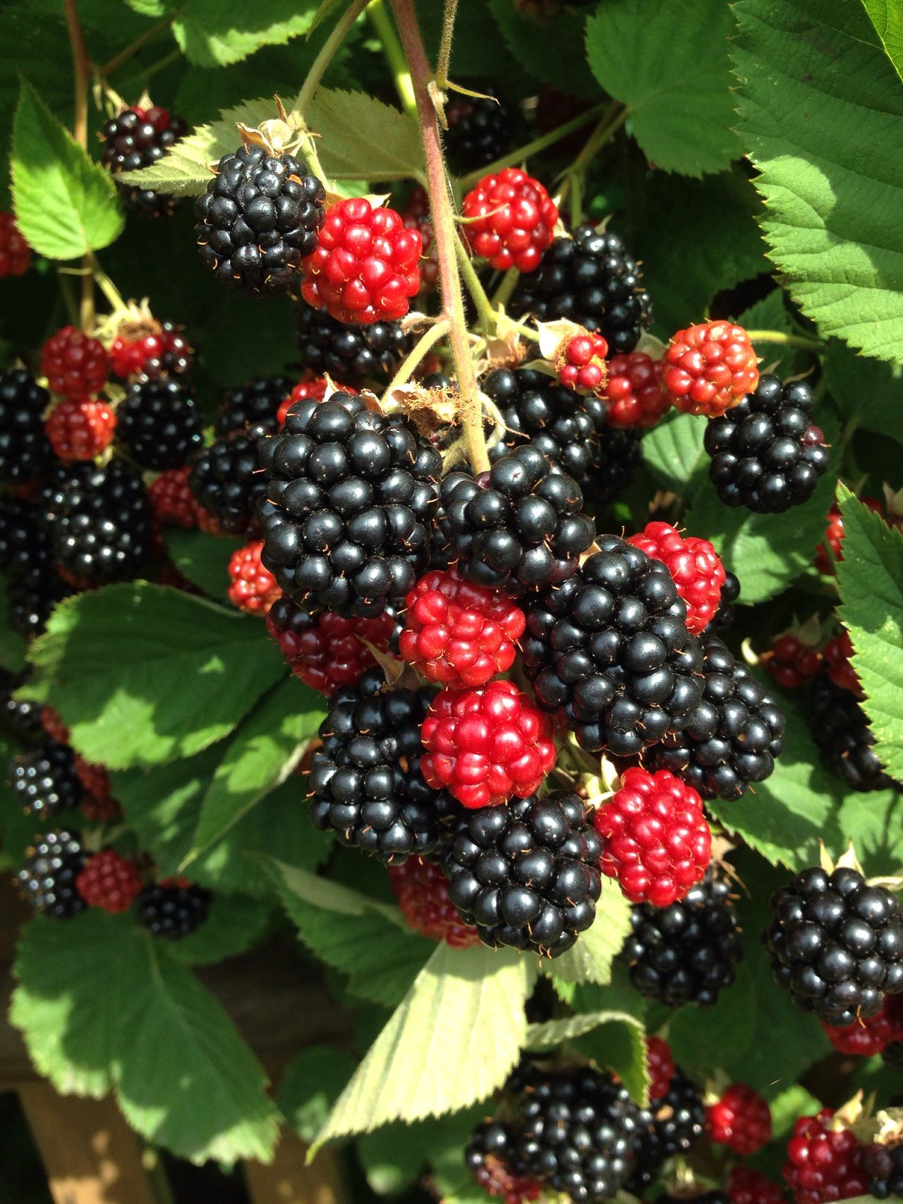 Garden Garden Photography Self Cultivation Brombeeren Blackberry Bio Fruit Harvest Bramble Brombeerstrauch