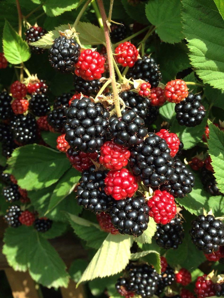 Garden Garden Photography Self Cultivation Brombeeren Blackberry Bio Fruit Harvest Bramble Brombeerstrauch
