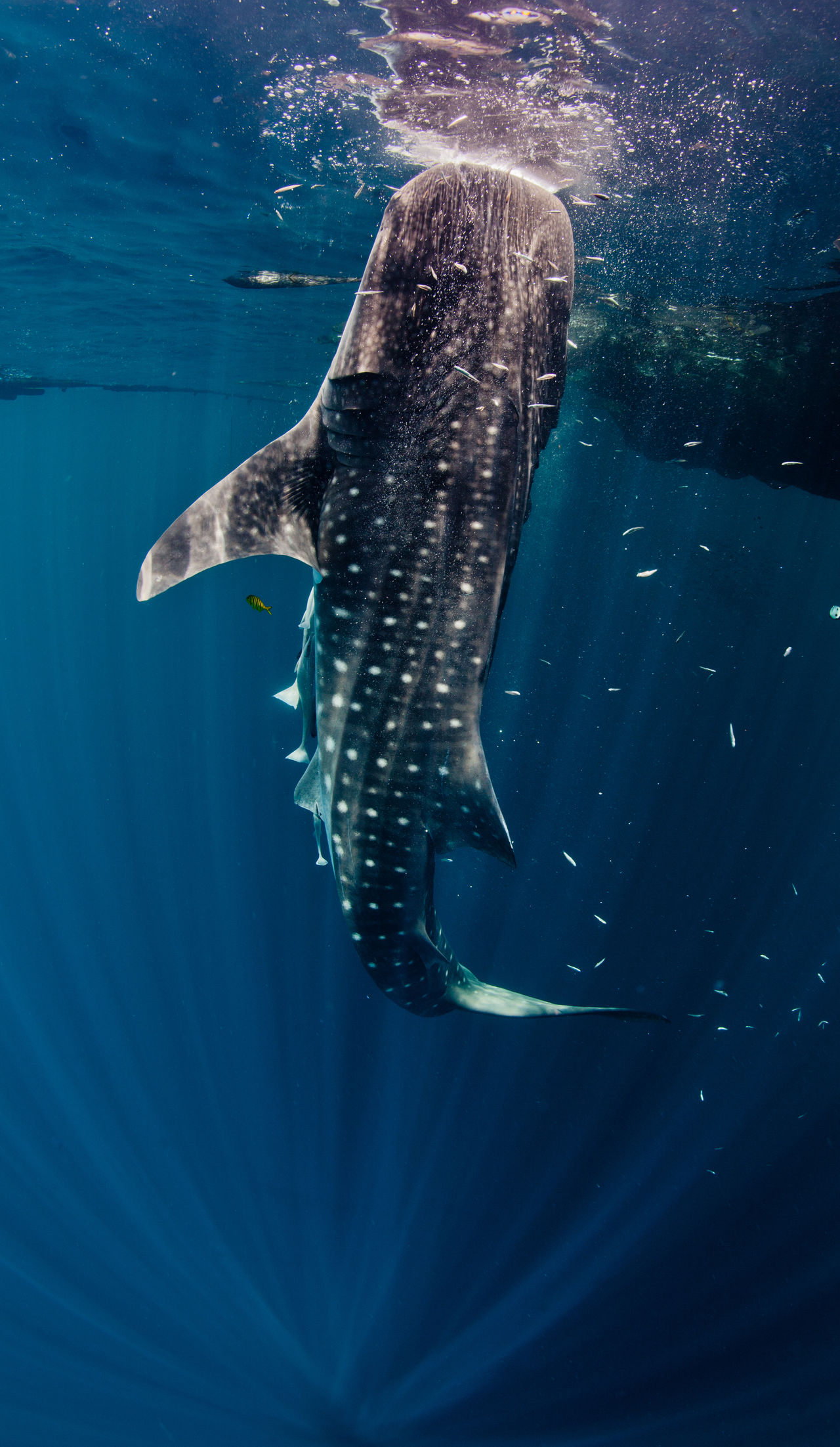 Beautiful stock photos of blue whale,  Animal Wildlife,  Animals In The Wild,  Blue,  Close-Up