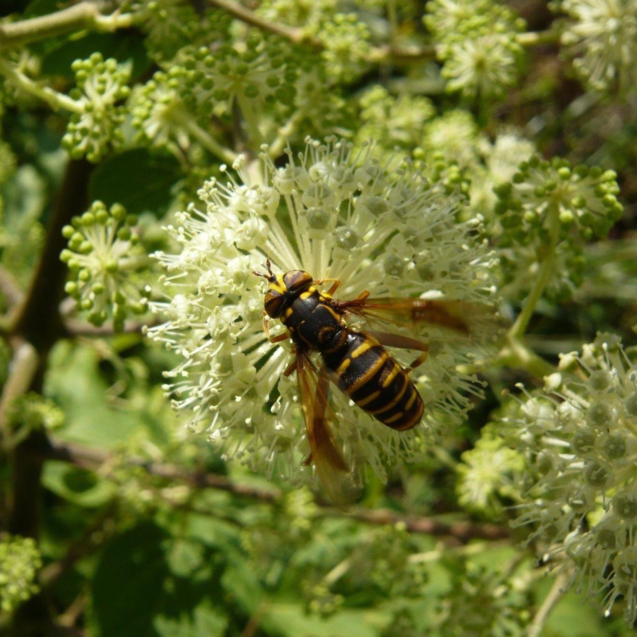 _Spilomyia suzukii_ Flowerfly Insect Udo Nature
