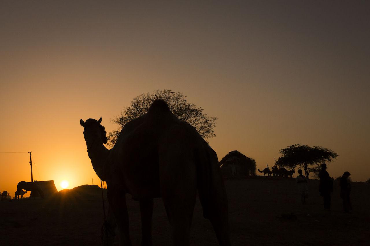 Pushkar, 2016 Camel Camels Desert India Pushkar Pushkarcamelfair Rajasthan Silhouette Sunset Travel Travel Destinations Travel Photography