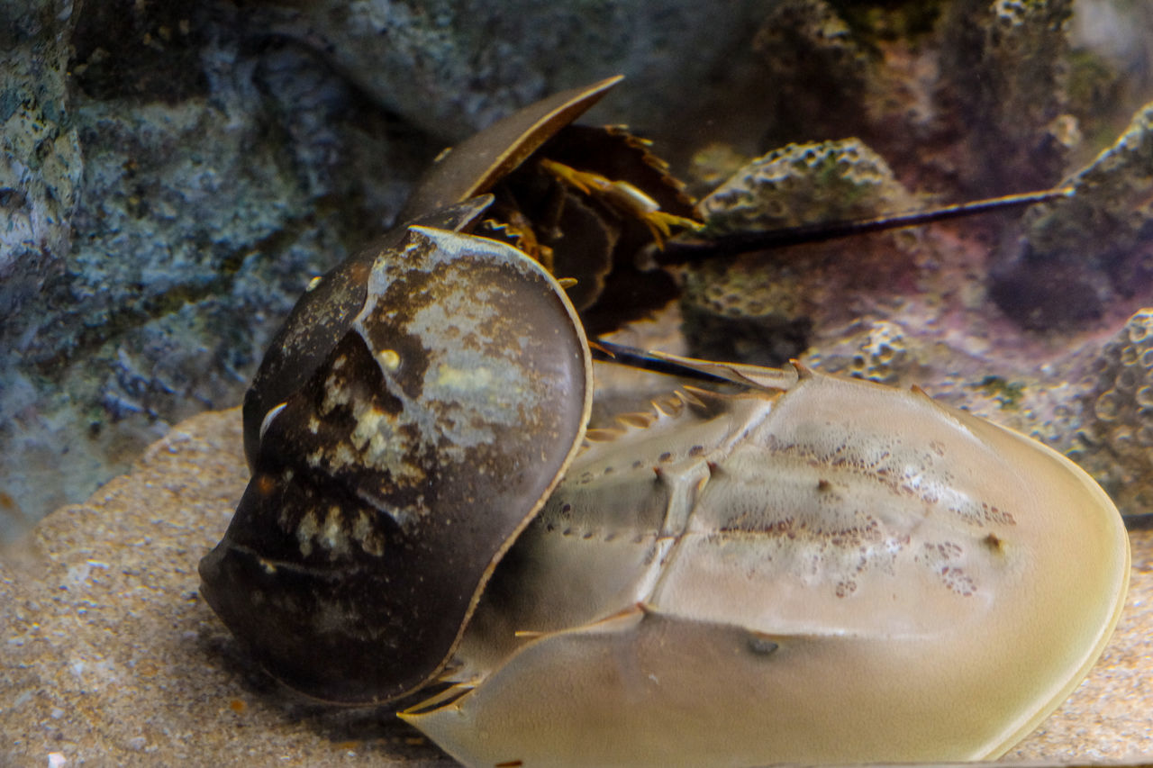 Horseshoe Crab Animal Themes Animals In The Wild Breed Close-up Fish Pimp Sea Life Underwater Wildlife