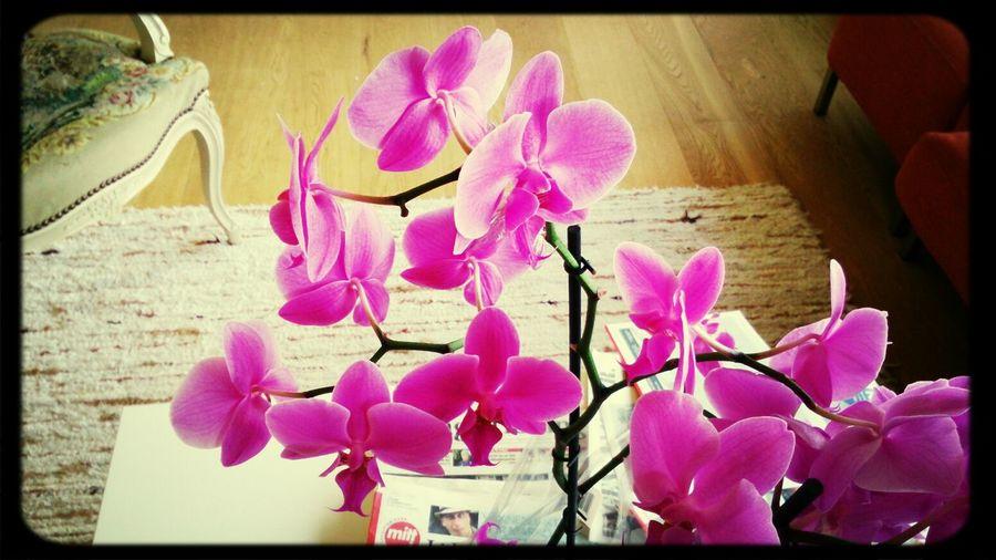 Orkide FIN Djup Filpsofisk