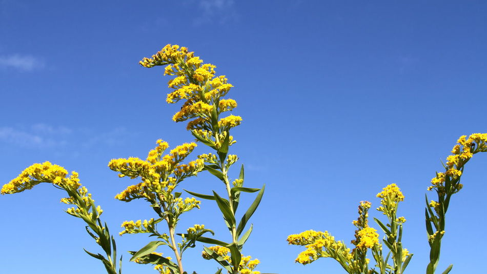 Beauty In Nature Blossom Blue Blue And Yellow Close-up Day Flower Flower Head Fragility Goldenrod Growth Nature No People Outdoors Plant Sky Summer Yellow