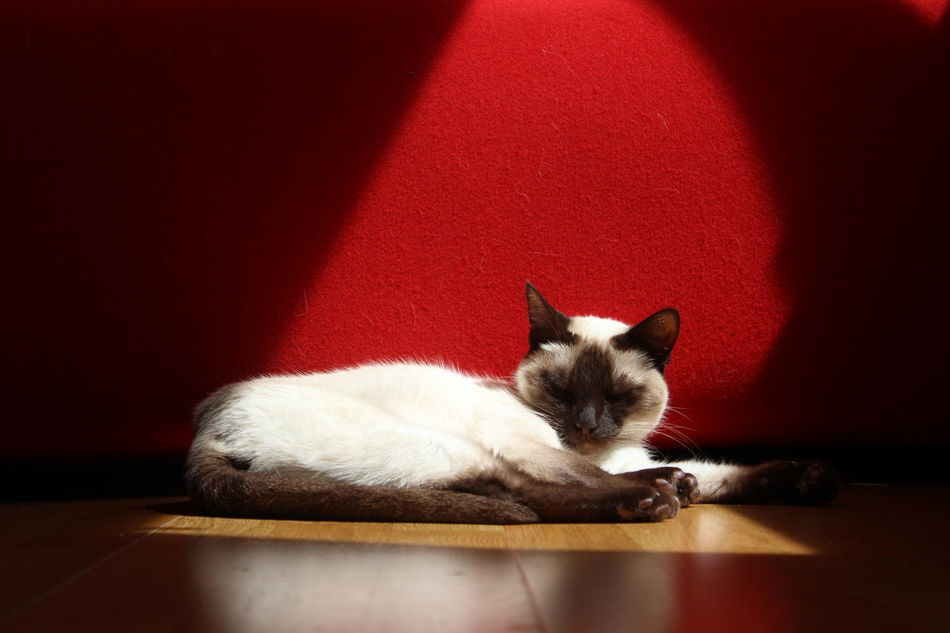 Animal Cat Cat Sleeping Cats Domestic Animals Domestic Cat Laziness Light Light And Shadow Nofilter One Animal Pets Red Resting Siam Siamcat Siamese Siamese Cat Siamesecat Siamesecats Sleeping Cat Sleepy Sleepy Cat Spotlight White