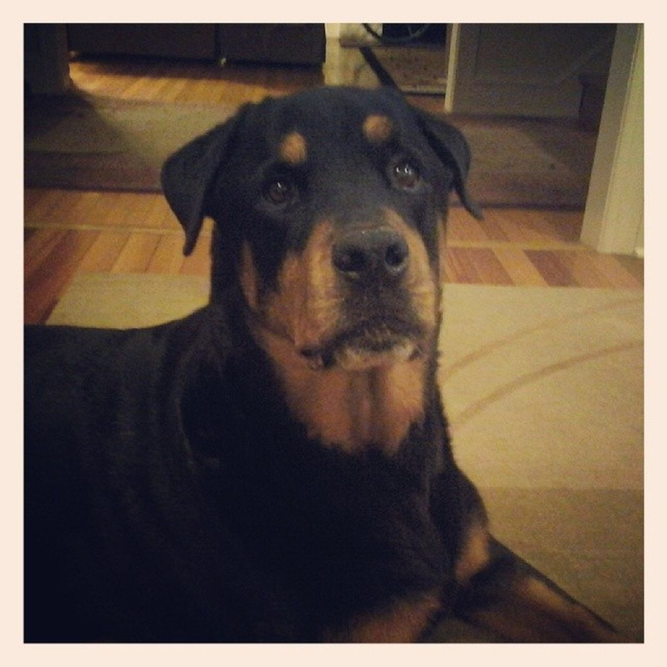 Diesel ♥♥♥♥♥ my buddy for the night! Petsitter Rottie Rottweiler Lovethisdog sostinkincute dogstagram