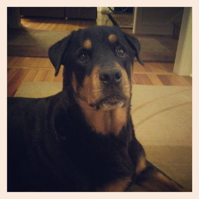 Diesel ♥♥♥♥♥ my buddy for the night! Petsitter Rottie Rottweiler Lovethisdog sostinkincute dogstagram