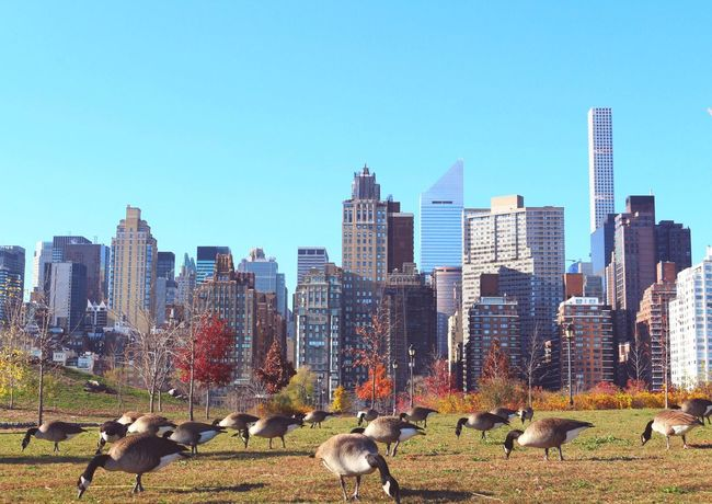 The skyline from Roosvelt island is the skygoose of the city. Skyline Building New York RoosveltIsland Animal Colors Enjoying The View Nature Island Architecture Park Goose TreePorn Autumn Beautiful New York City USA EyeEm Best Shots Urban Skyline Skyscraper Colorful Zoology Animals Eye4photography  Architecture