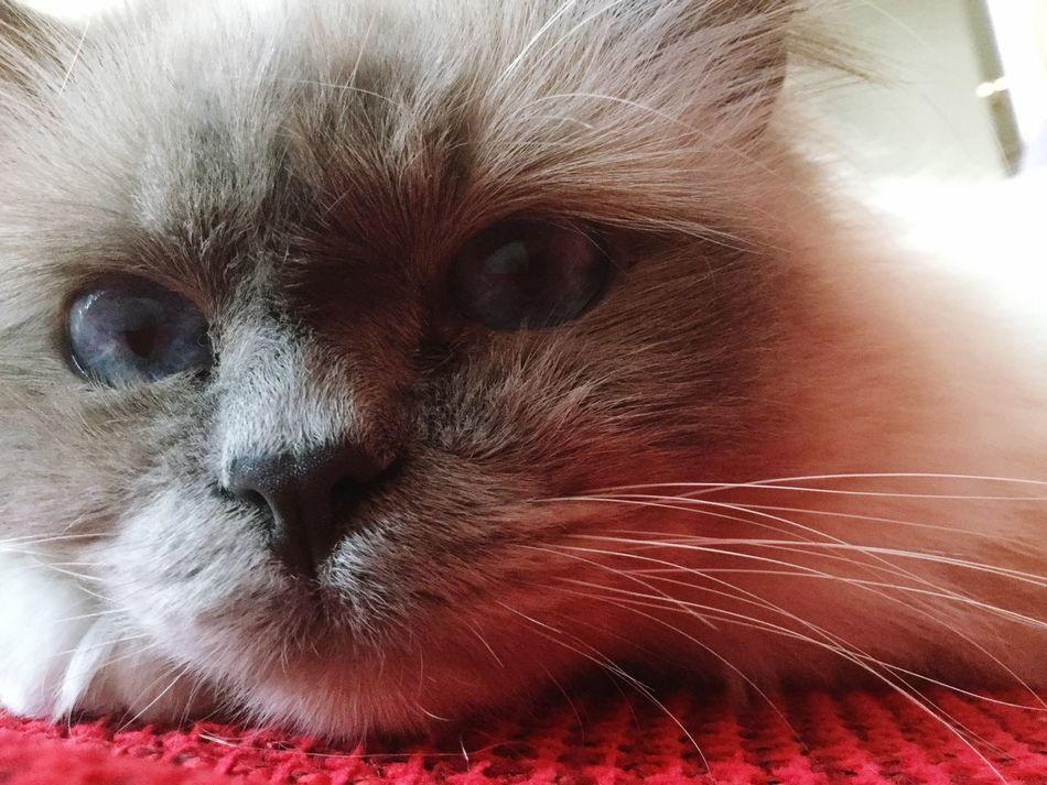 Cat Birman  Close-up