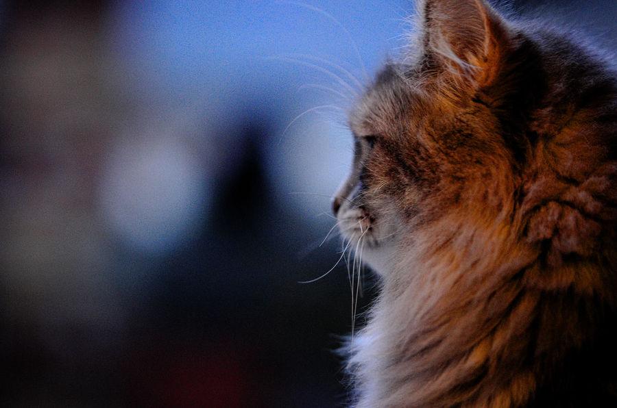 Siberian Catoftheday Cats Of EyeEm Cute Cats EyeEm Nature Lover Cat Cats Cat♡ Eyem Cute Cats Eye4photography