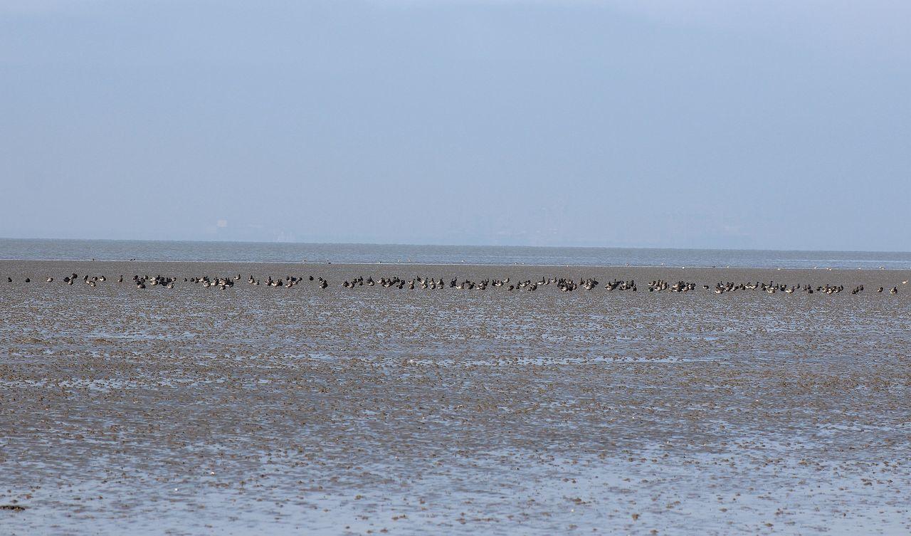 Birds Coast Küste Marigold Goose Natur Nature Nordsee Northsea Ringelgänse Schwarm Swarm Vogel Wasser Water