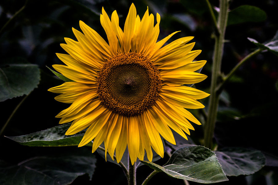 Beauty In Nature Flower Flower Head Nature No People Outdoors Petal Sunflower Yellow