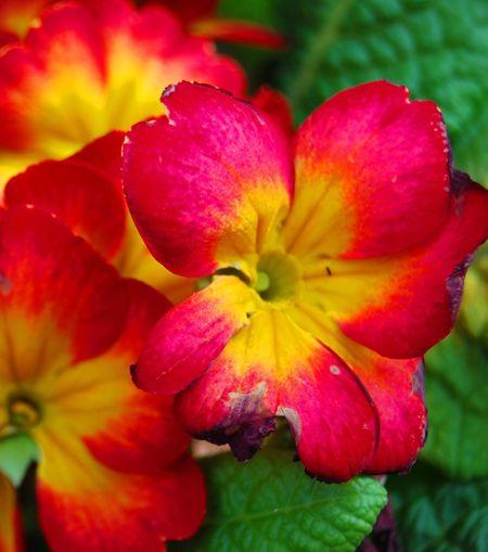 La Roja Flor
