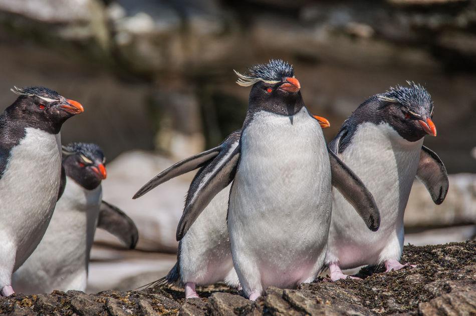 Beautiful stock photos of pinguin, Natural Habitat, animal, animal Head, animal Themes