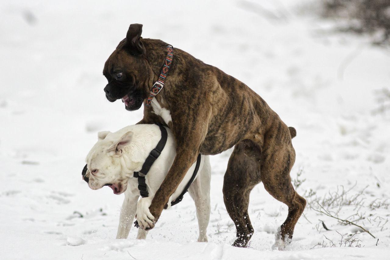 Beautiful stock photos of lustige tiere, Animal Behavior, Animal Themes, Boxer - Dog, Close-Up