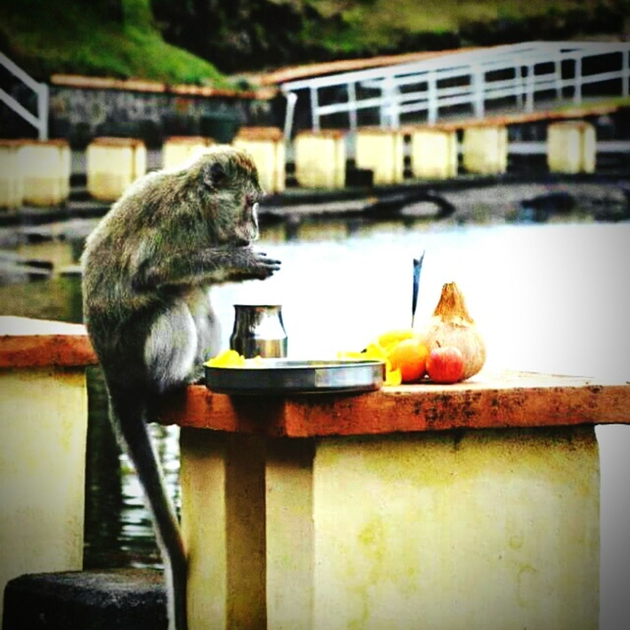"Prayer forms a major part of human beings.... It is such that even animals diverge in the devotion of GOD as it is the example of this monkey... It may seem to be a coincidence but animals do seem to express their feelings and devotion to GOD as they also are on this earth as part of their Karma (actions) as Hinduism or any other religion postulates... We should do good actions to receive positive results as as we say ""As you Sow, So you Reap"" meaning whatever actions we do has its results in this birth or the other... And maybe animals pray even with more Devotion and Piouness than human beings who now have become victims of their own actions.. SO A MAJOR APPEAL, RESPECT ANIMALS.... Things I LikeEyeEm Things I Like Photography Devotion Religion Monkey Monkeys Praying Monkey Respect Animals Food Grand Bassin Banana Coconut Incense Sticks Hindu Temple Hinduism Hindu Hanuman Hanumanji Karma Rebirth Actions As You Sow So You Reap"