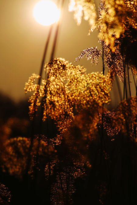 Sun Nature No People Beauty In Nature Flower Focus On Foreground Schilf Untergang Untergang