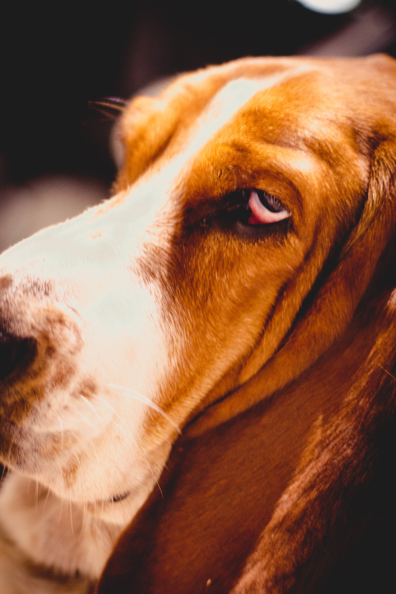 Animal Head  Animal Themes Basset Close-up Cute Cute Dog  Cute Pets Day Dog Domestic Animals Droopy Ears Indoors  Mammal No People One Animal Pets Sad