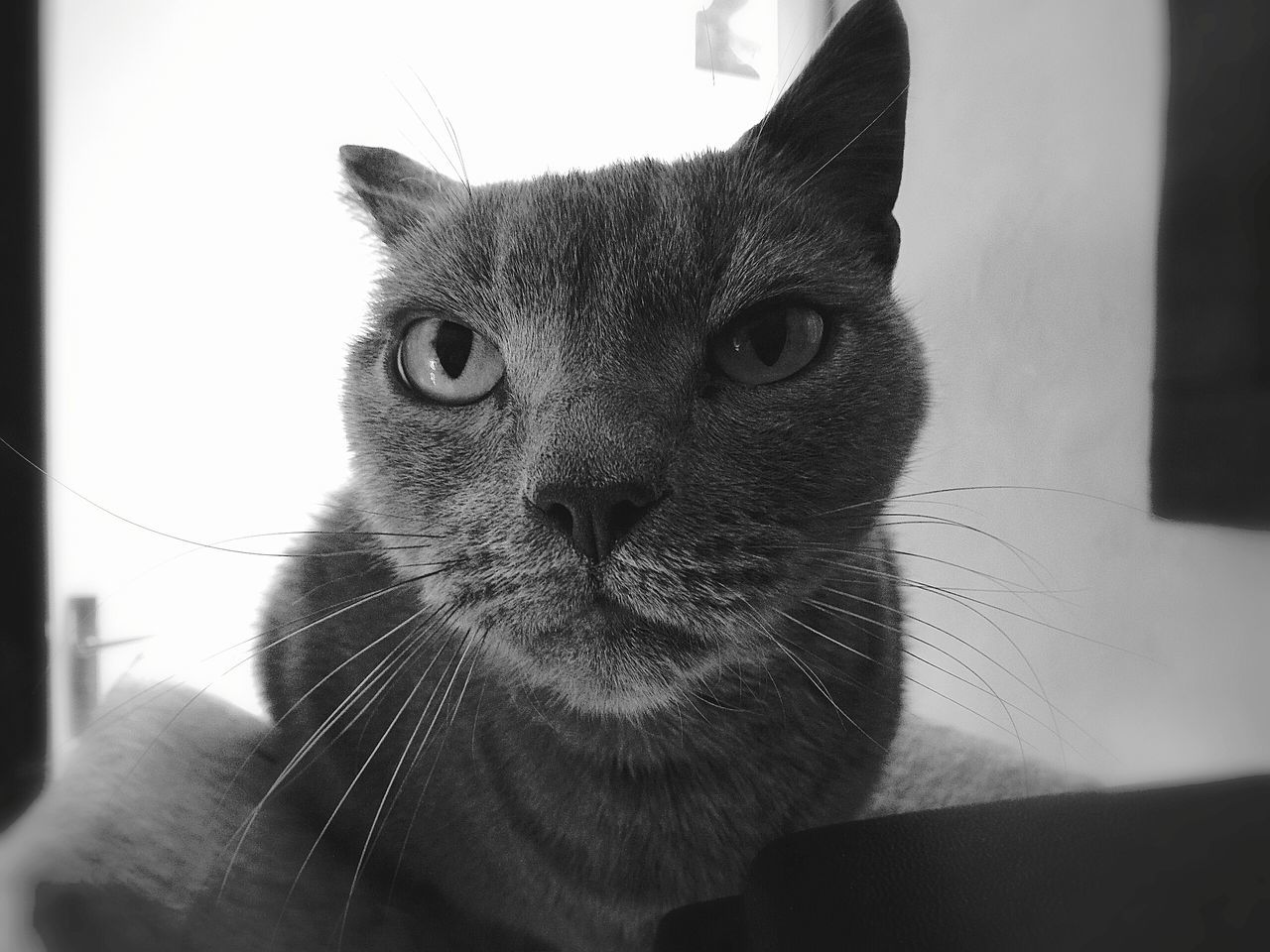 Celsius Looking At Camera Pets One Animal Domestic Animals Animal Themes Portrait Mammal Domestic Cat Indoors  Close-up No PeopleEye Feline Day Cat