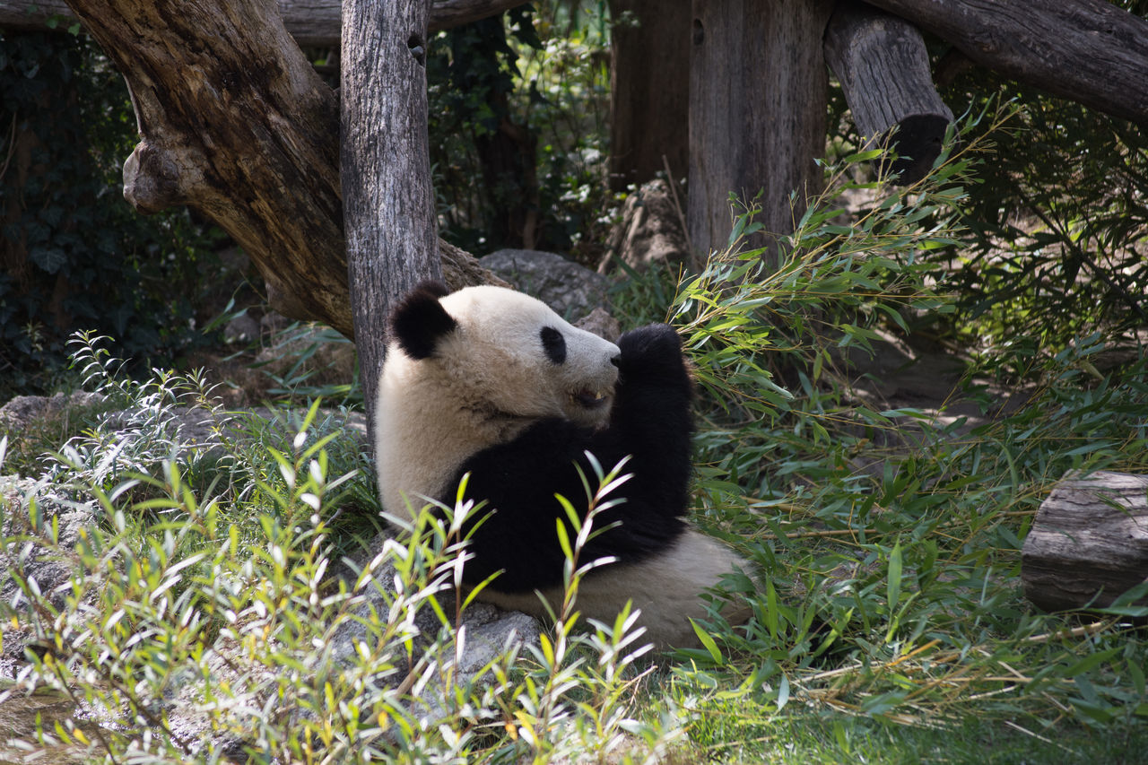 Animal Themes Bamboo - Plant Bear Giant Panda Nature One Animal Panda - Animal Zoo Zoo Animals
