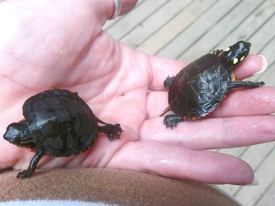 Two Baby Turtles Human Hand Animal Themes Reptile Holding Animal Young Animal Close-up Animals In The Wild Turtle 🐢 Painted Turtle Small Water