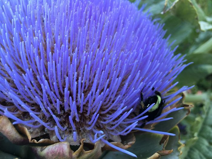 Flowering Plant Plant Artichoke Bumblebee On Flower Honey Pollen Purple Flower Thistle Vegetable
