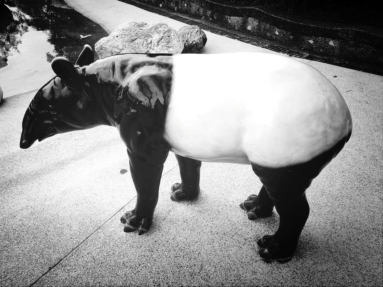 黑白也很好看的馬來貘 Black And White Malayan Tapir