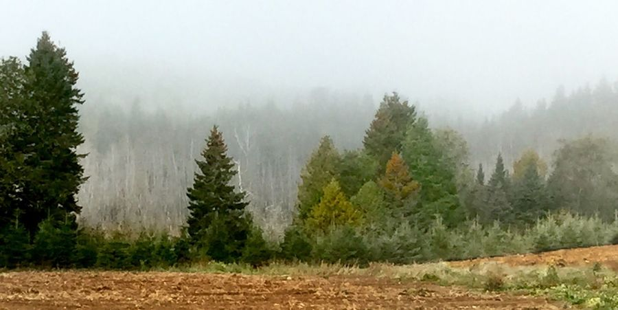 Foggy, tree filled landscape in New Brunswick, Canada. Tree Nature Weather Tranquility Fog Beauty In Nature No People Outdoors Day Growth Scenics Tranquil Scene Landscape Cold Temperature Sky Tree Line Agriculture Farm Field Pine Tree Birch Tree White Bark Autumn Colors Faded Colors Betterlandscapes