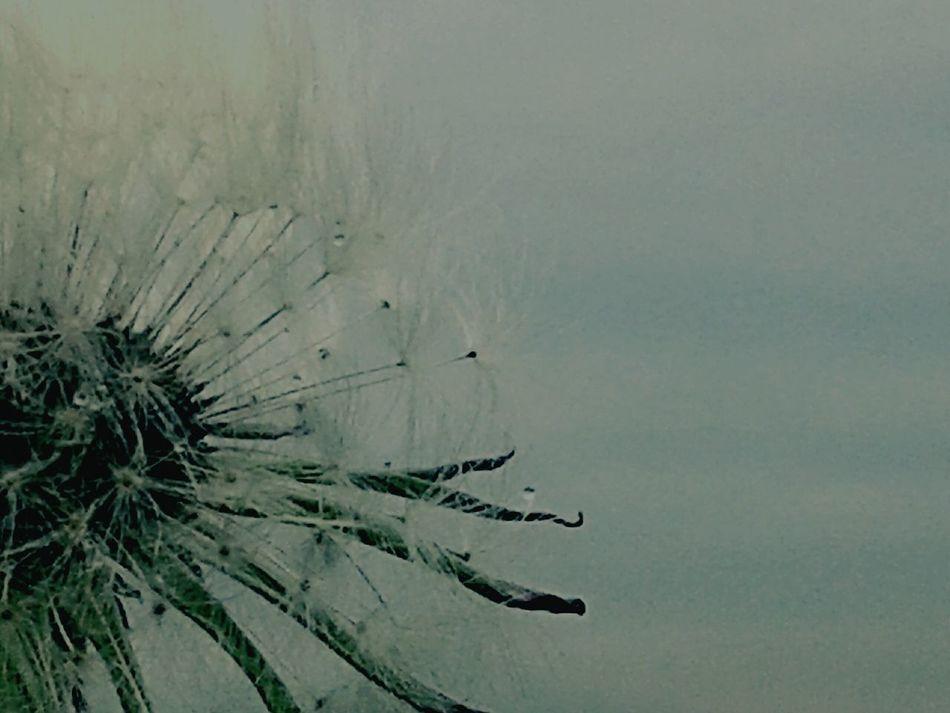 Dandelion Dmuchawiec Flowers Nature