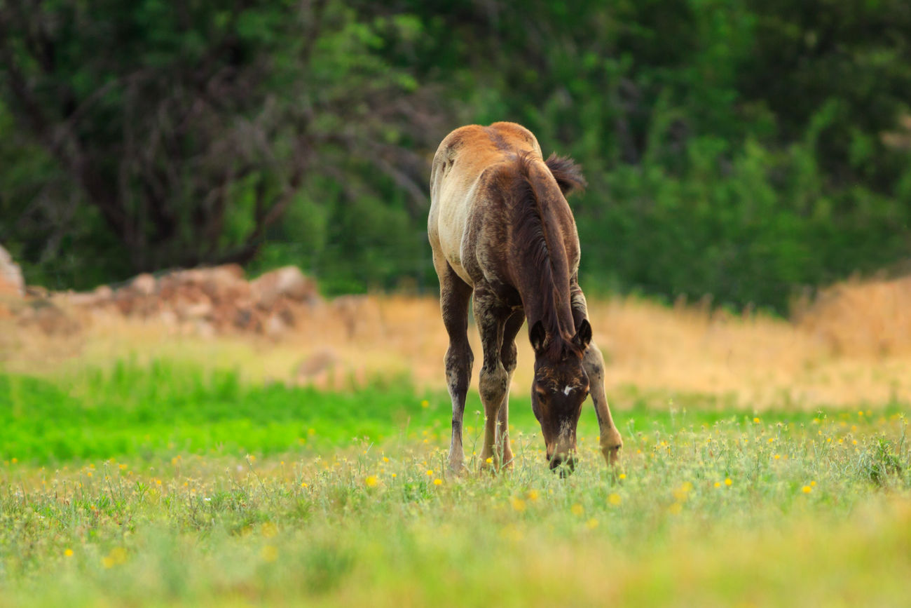 Foal In Field Nature Grass Beauty In Nature Outdoors No People Domestic Animals Horses Animals Pasture Grazing Horse Baby Animals Baby Horse