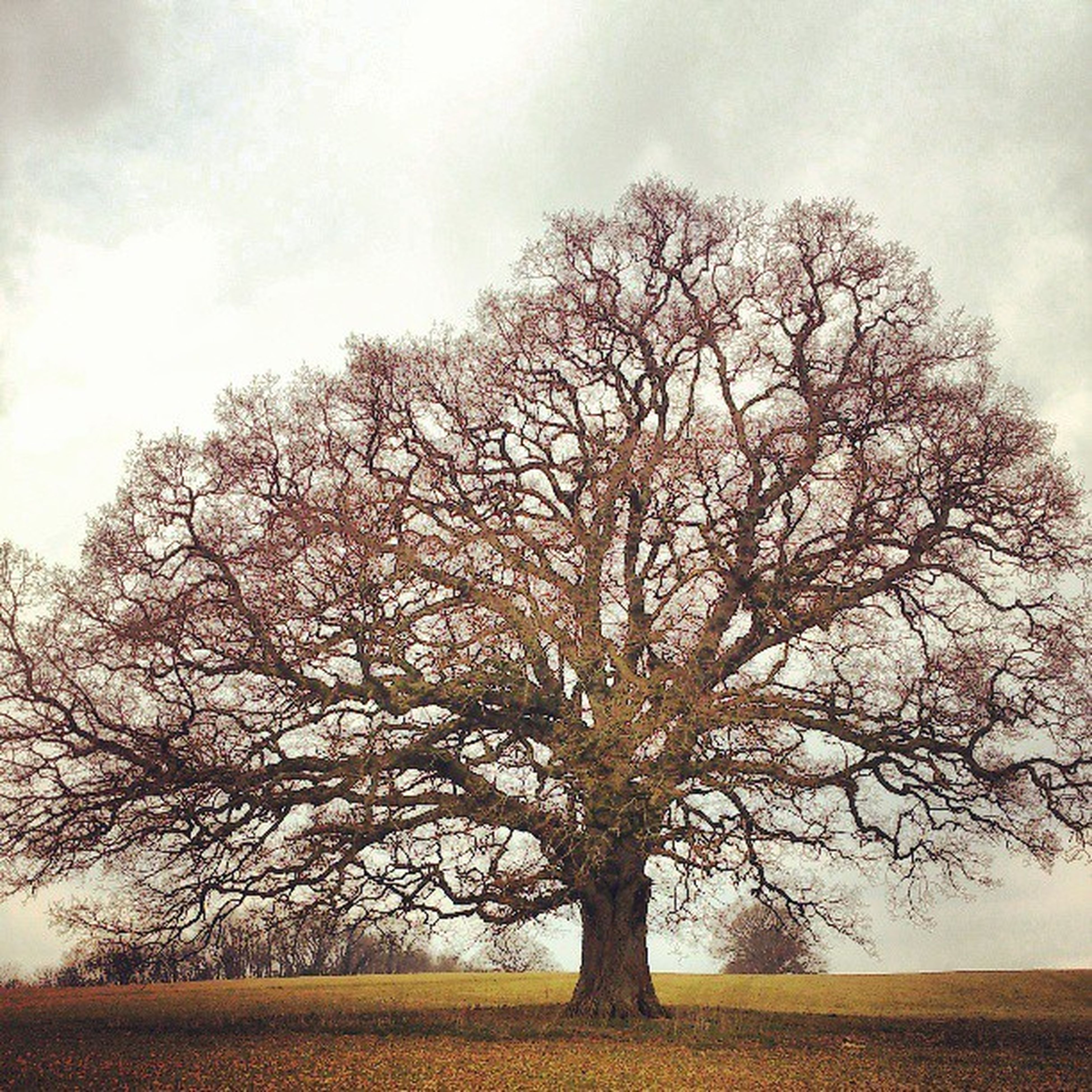 tree, bare tree, branch, tranquility, sky, tranquil scene, field, landscape, nature, single tree, beauty in nature, scenics, tree trunk, growth, cloud - sky, non-urban scene, outdoors, cloud, grass, day