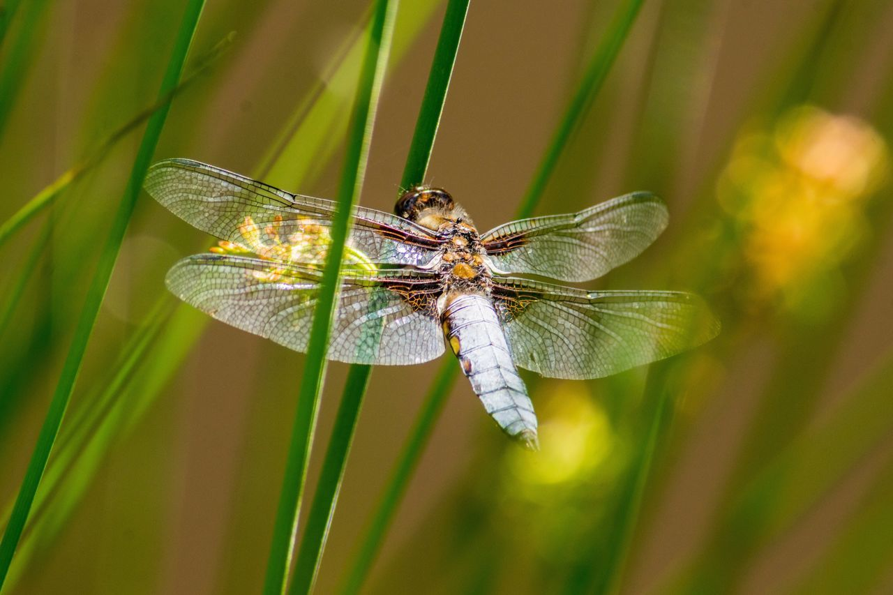 Insect One Animal Animals In The Wild Animal Themes Animal Wildlife Nature Day Close-up Damselfly Leaf No People Plant Outdoors Dragonfly Broad Bodied Chaser Pond Life Creature Animal