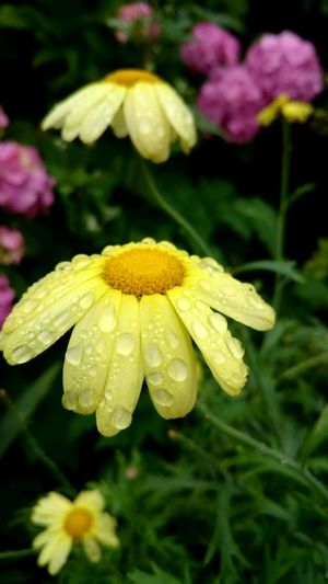 Flowers Yellow Raindrops