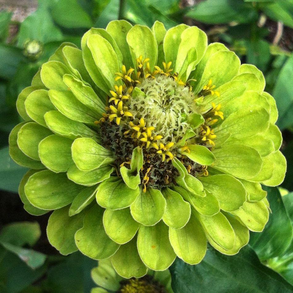 Planten Un Blomen Green Flower Head Green Color Flower Photography Green Green Green!  Naturelovers EyeEm Nature Lover Jopesfotos - Nature