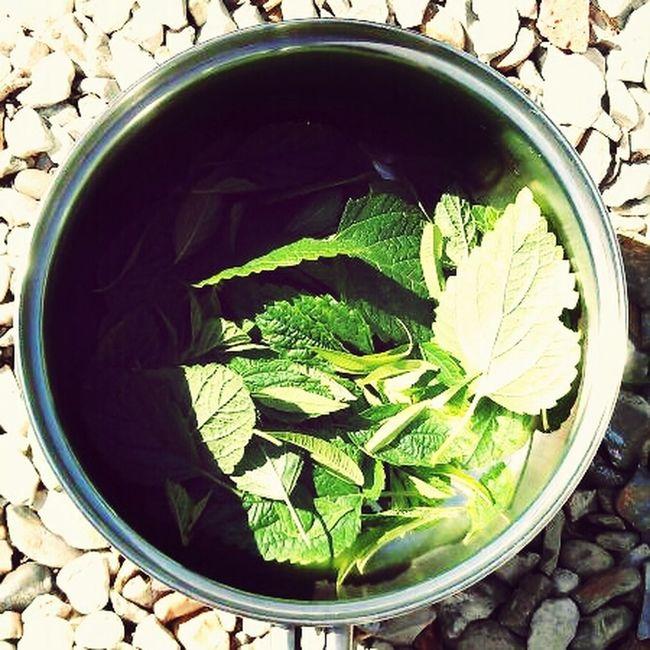 Green Before... Fresh Green Leaves Lemon Balm