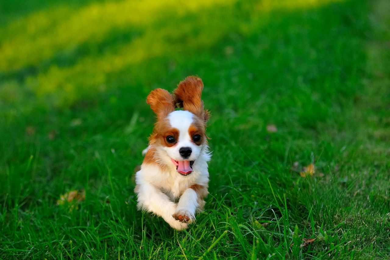 Happy Younger Cavalier King Charles Cavalierking Dog Love Cavalierkingcharlesspaniel Ckcs Beautiful Cavalier Springtime Puppy Cavalier