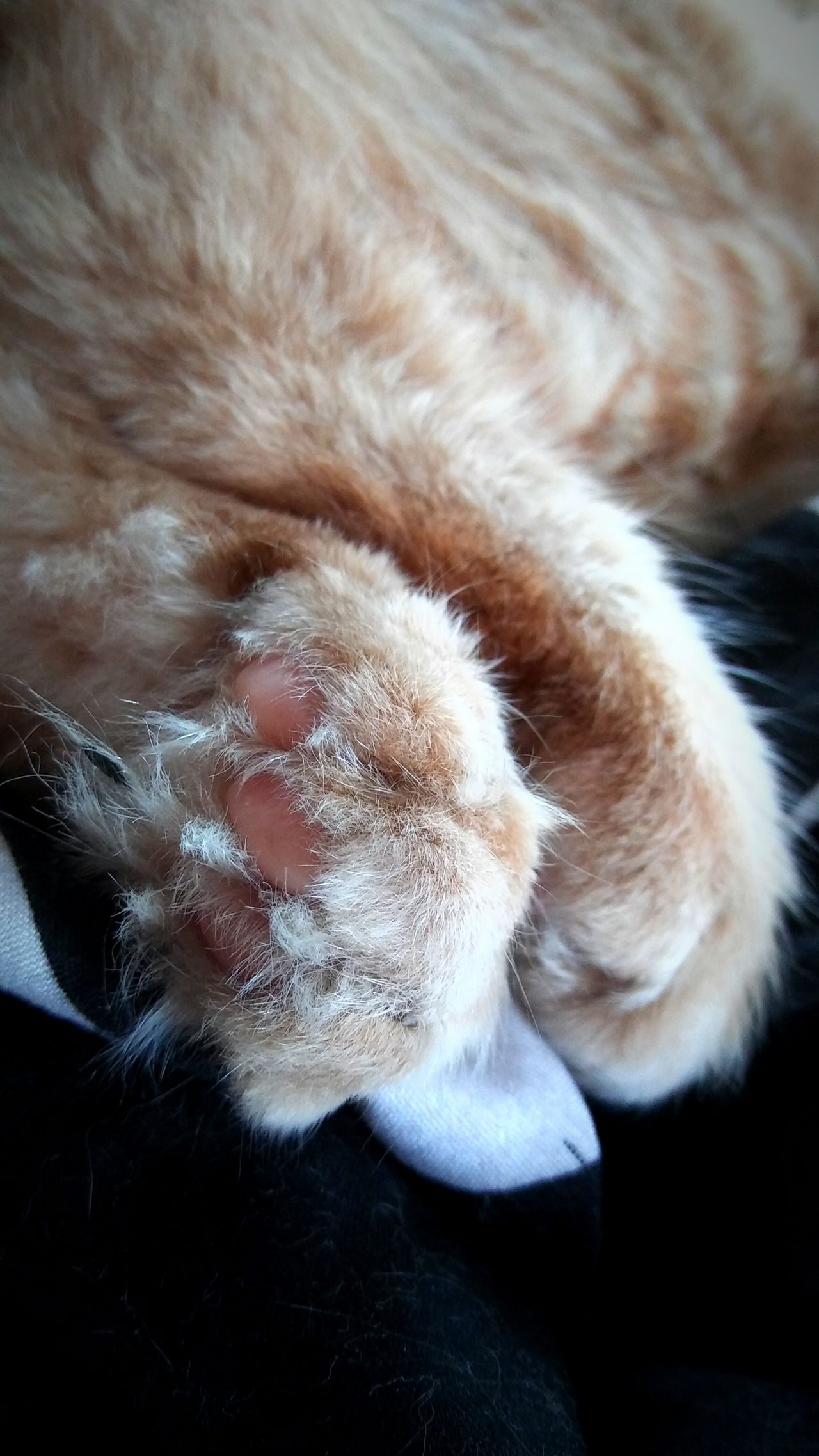 Kitty paws n baby toe beans🐾🐾🐾💕💕💕😘😘 Hanging Out Check This Out Hello World Hi! Relaxing Precious Little Moments Catstarcat Pawsome Animal Photography Catsoftheworld Paws And Purrs ❤️🔥❤️ Catsofeyeem Catlovers Animals Loveallanimals Gingercatsofinstagram Gingersrule Bayareaphotography Bay Area Cat Snoozin