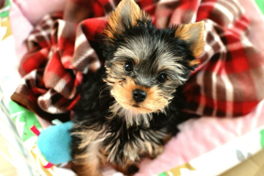 New family member, Mel♡ Puppy Love I Love My Dog Yorkie Yorkshire Terrier