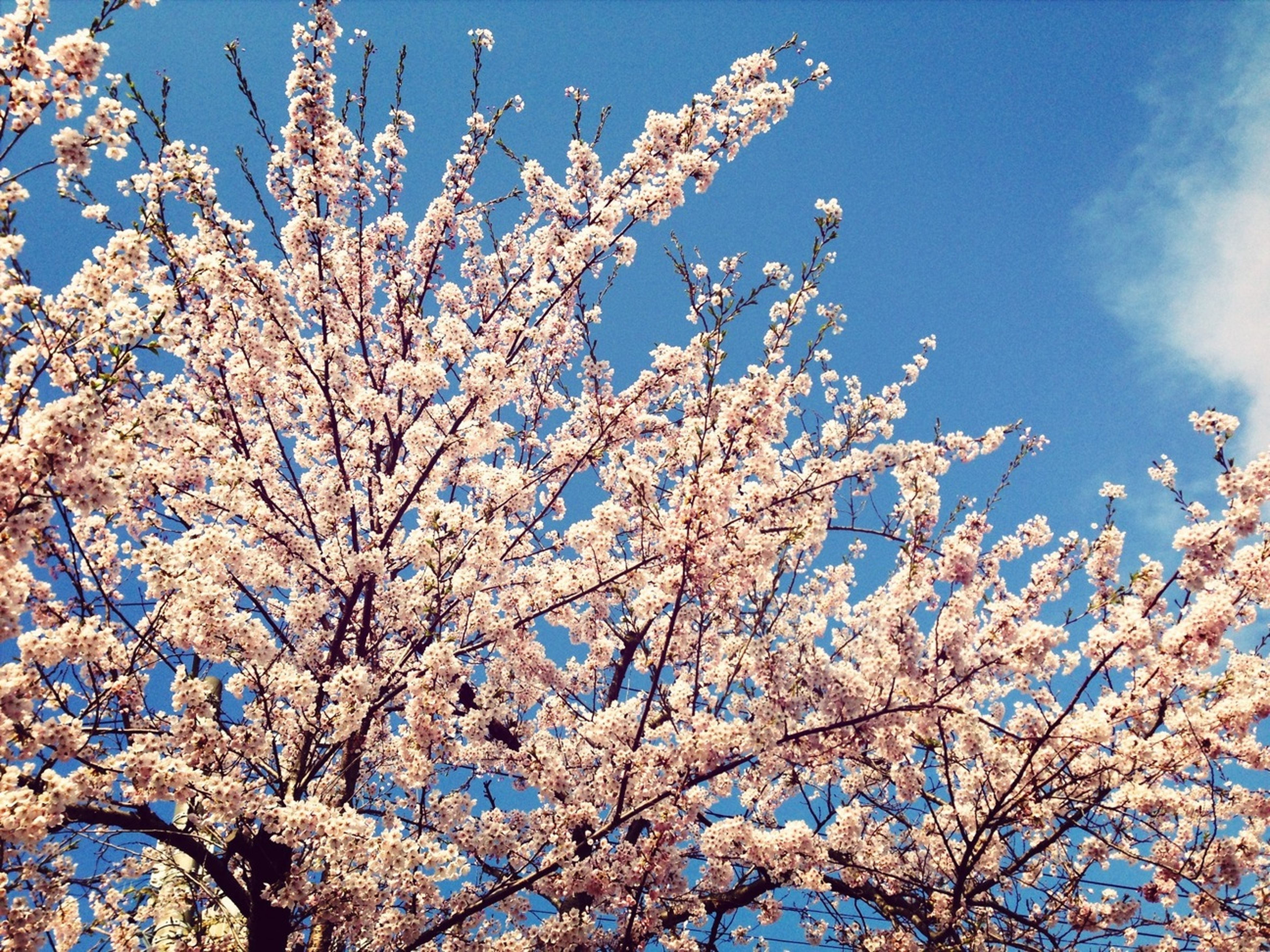 flower, branch, low angle view, tree, freshness, cherry blossom, growth, blossom, beauty in nature, fragility, cherry tree, nature, sky, in bloom, springtime, blooming, blue, fruit tree, clear sky, white color