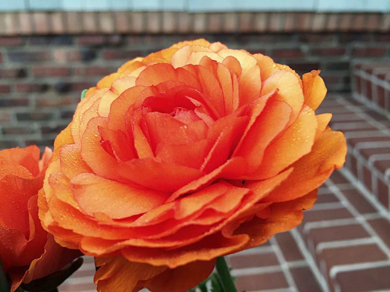 Flowers Winter Blooms Ranunculus Orange Flower Open Edit
