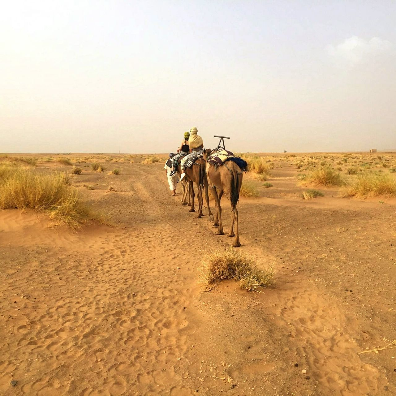Marokko Shara Camel Horizon Over Land Landscape Camel Ride