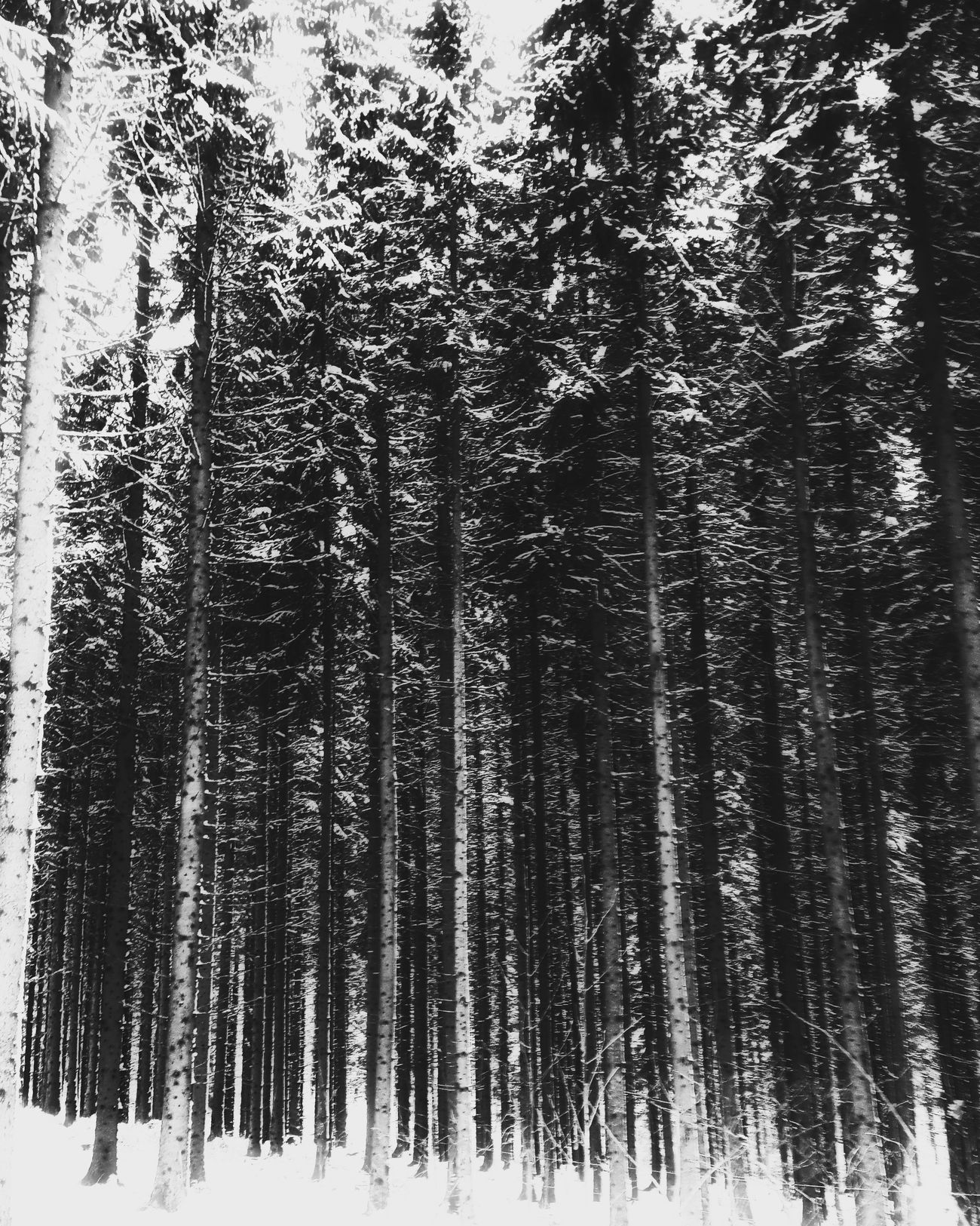 In to the woods I have to go... Tree Nature Growth Beauty In Nature Winterishere Winteriscoming Snow Winter Cold Temperature Sweden Life Is Adventure Explore Discover Pursue Enjoying Life Dalarna Outdoors Scenics Tranquility Blackandwhite
