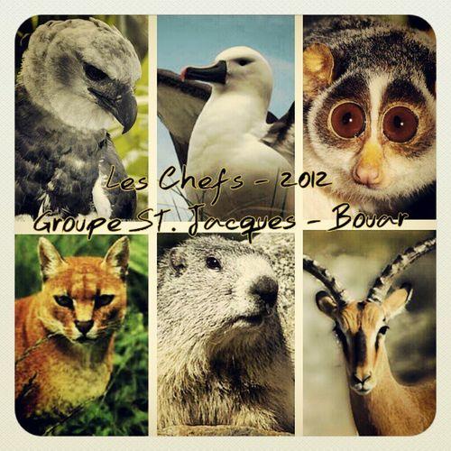 The Chiefs Harpie Albatros Galago ChatDore Marmotte Impala SDL SJB