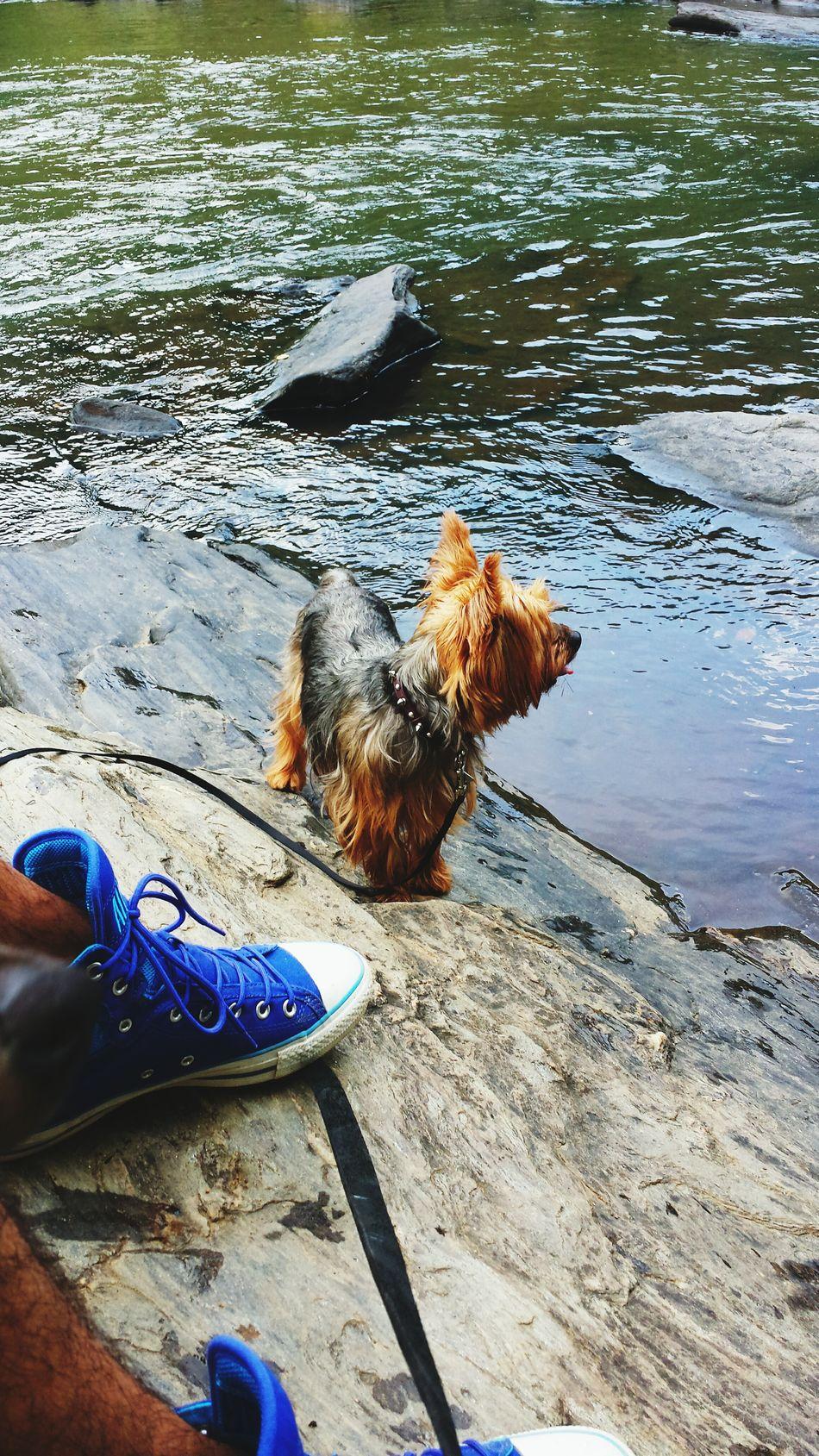 Yorkie Probs  at Sweetwater Creek