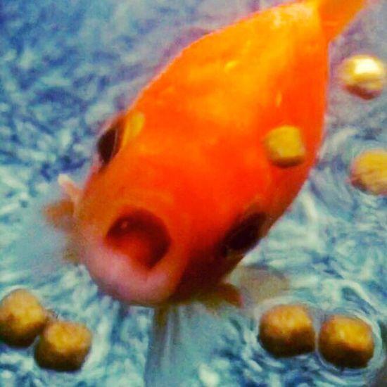 Goldfish Goldfishtank Feedme Fish GrowingUp Bigmouth Photography Fishtank Fishtanks Aquarium